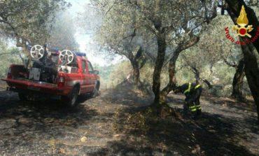 Distrutti dalle fiamme 250 ulivi