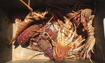 Pesca illegale, liberate aragoste