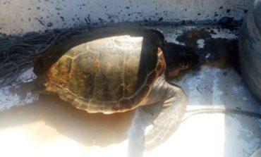 Salvate due  tartarughe marine intrappolate nelle reti a Livorno e Vada