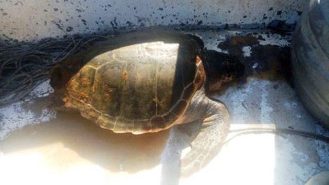 Tartaruga Caretta caretta curata e poi liberata alle Secche della Meloria