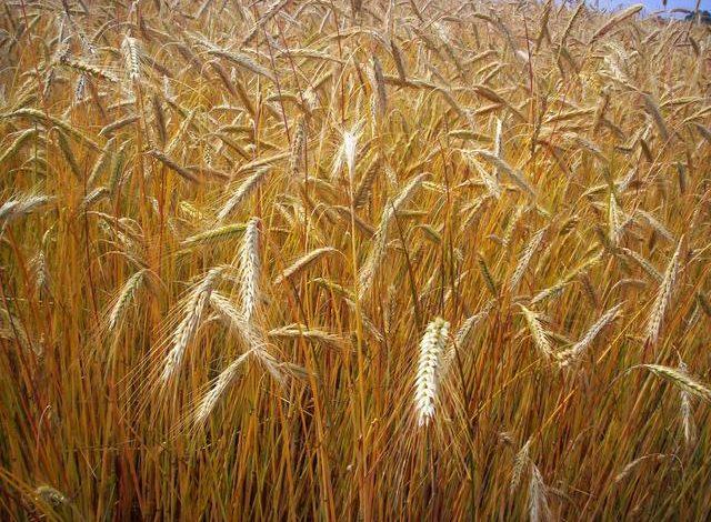 Dai contadini etiopi il segreto per produrre colture di miglior grano