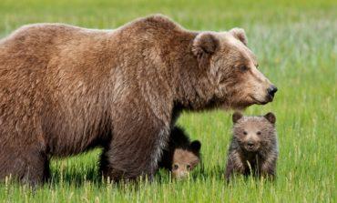 Animalisti: no alla caccia all'orso