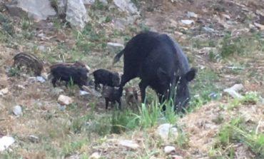 Cinghiali a Calignaia, catturati (e trasferiti) i primi 9 esemplari