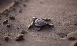 Tartarughe all'Elba, 93 piccoli hanno raggiunto il Mare. Recuperato anche raro esemplare Caretta Caretta