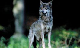 Lupi vicino casa, partono i controlli