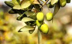 Due piante di olivo davanti al reparto di pediatria dell'ospedale