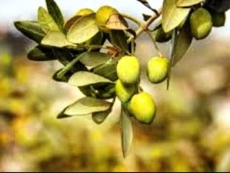 Due piante di olivo davanti al reparto di pediatria dell for Aiuola con olivo