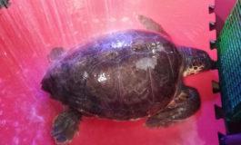 Salvata tartaruga marina intrappolata in una rete