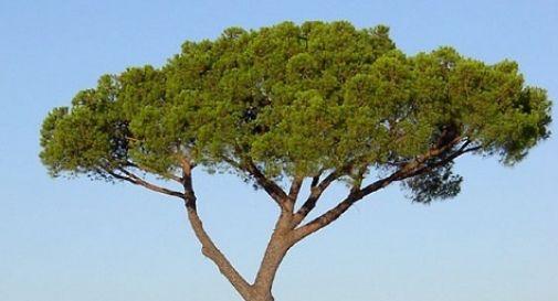 Abbattimento pini a Stagno: le obiezioni della Lipu