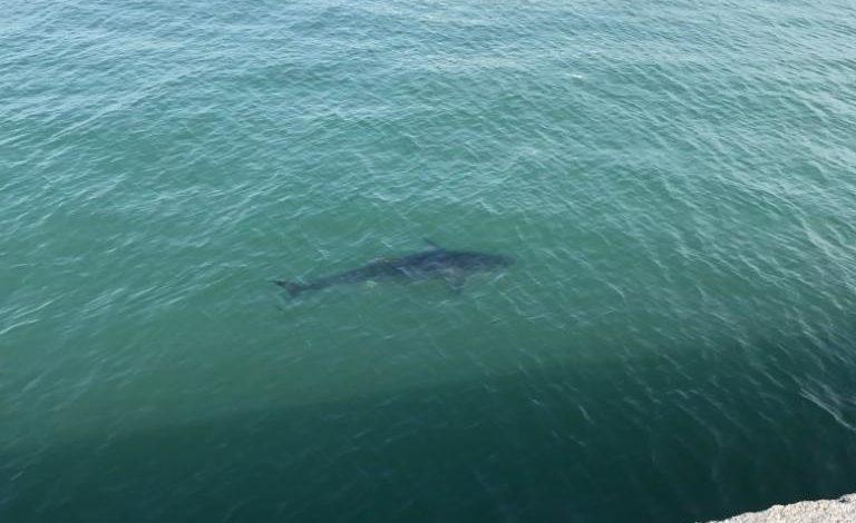 Squalo pascola indisturbato lungo il braccio del Molo Novo (Foto)