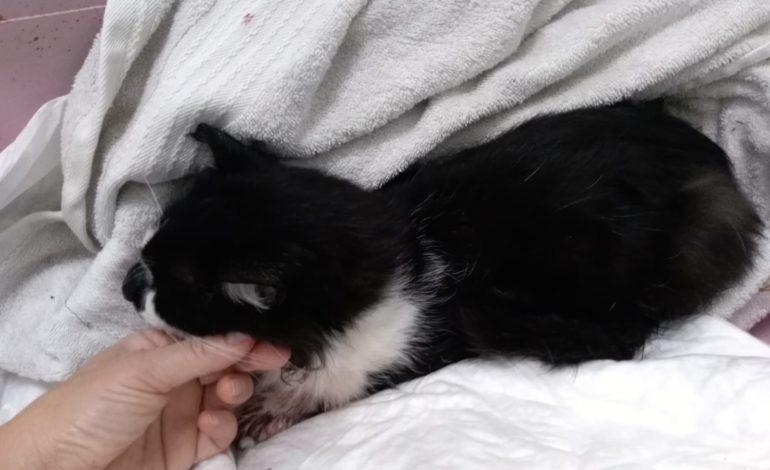 Servizio veterinario del Comune: soccorso gattino investito