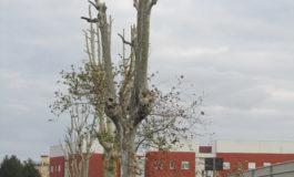 Lipu, alberi potati illegalmente