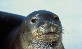 Avvistata foca monaca intorno all'Isola di Capraia, chiuso un tratto di mare
