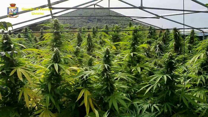 Coltivava marijuana in villa: arrestato cuoco livornese