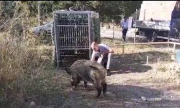 Cinghiale catturato sul Romito, rischiava di provocare incidenti