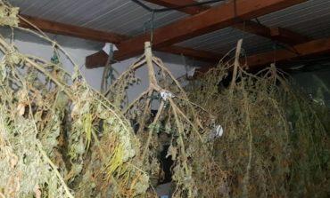 Coltivavano oltre 100 piante di marijuana in casa. Arrestati due livornesi