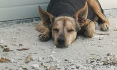 Trovati due cani smarriti, un pitbull e un meticcio tipo pincher